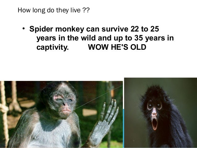 how to own a spider monkey