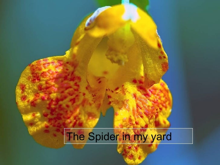 The Spider in my yard