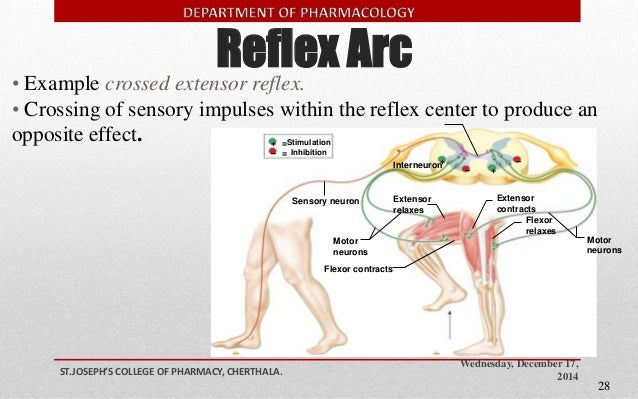 the reflex arc essay Reaction times essay - reaction times plan: - i am planning to investigate about the reaction times on the swiftness of the thumb, starting and stopping a stopwatch the none of the reaction times are reflex actions because none of the.