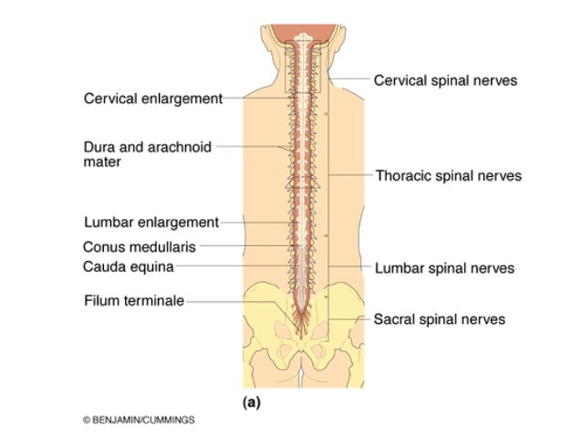 Spinal Cord A thin filament covered in pia and including glial cells. spinal cord