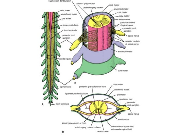 Spinal Cord Inferiorly, it ends with the dural sac and is pierced by the filum terminale, which passes from the conus medullaris, or the lower end of the spinal cord. spinal cord