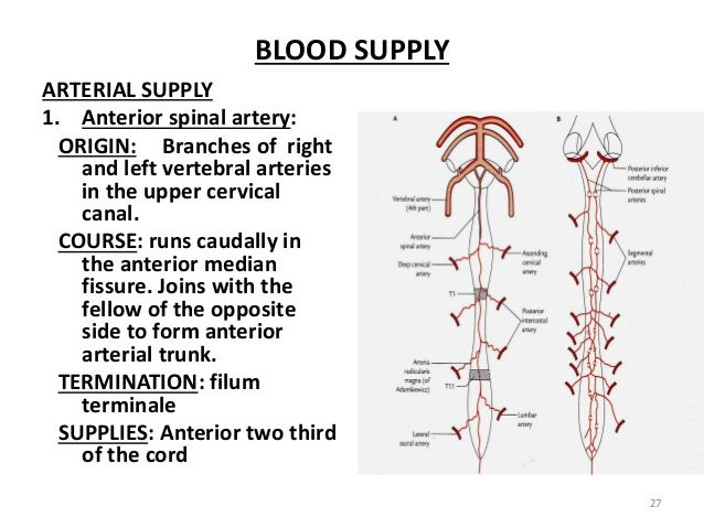 Spinal Cord 2 The filum terminale internum and externum : spinal cord 2