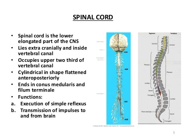 Spinal Cord 2 Factors involved in the formation of the filum terminale. spinal cord 2