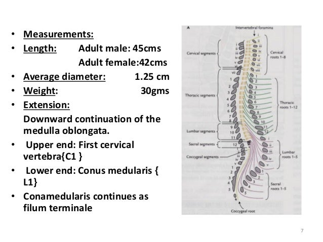 Where Does Filum Terminale End – In the gross specimen locate the filum terminale.