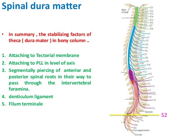 Spinal Cord Anatomy 1 Tethered spinal cord is defined as a condition in which the conus medullaris ends at a level below the l1… spinal cord anatomy 1