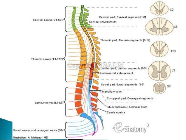Sacral nerve anatomy