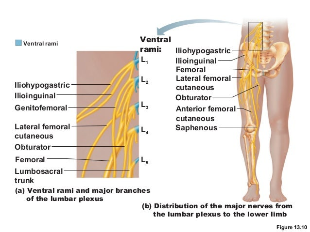 spinal cord and spinal nerves lab, Muscles