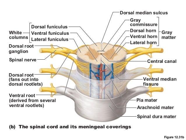 lumbar-vertebra-lateral-view