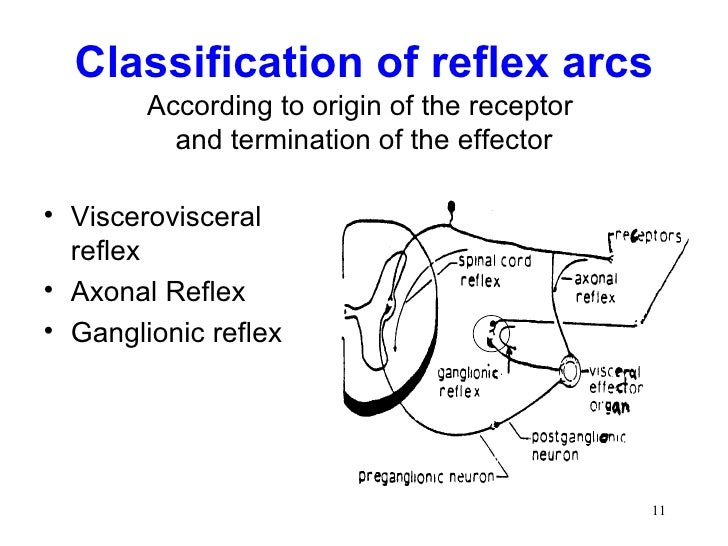 Spinal cord reflexes 10 11 classification of reflex arcs ccuart Gallery