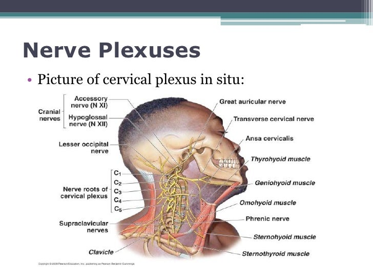 Spinal nerves and spinal plexuses cdp final
