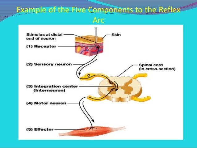 Spinal cord reflexes.