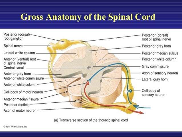 Spinal Tracts And Reflexes