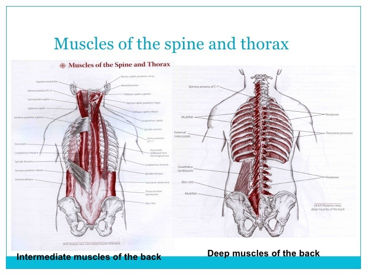 Spine And Thorax 1