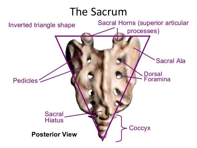 Spine anatomy (basic spine 2009)