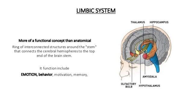 """More of a functional concept than anatomical Ring of interconnected structures around the """"stem"""" that connects the cerebra..."""