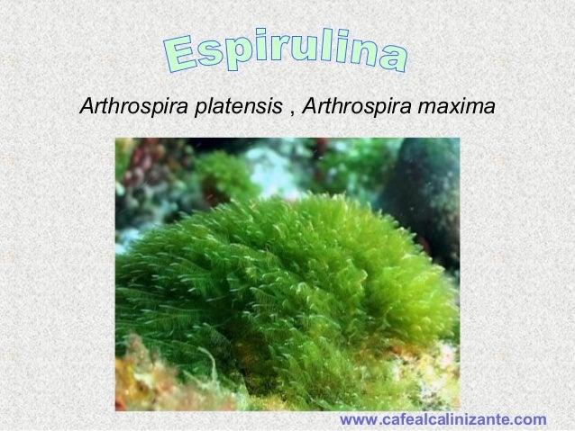 Arthrospira platensis,Arthrospira maxima www.cafealcalinizante.com