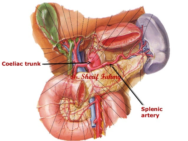 The Spleen (Anatomy of the Abdomen)