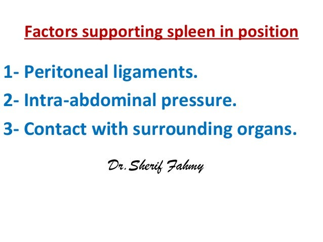 Factors supporting spleen in position 1- Peritoneal ligaments. 2- Intra-abdominal pressure. 3- Contact with surrounding or...