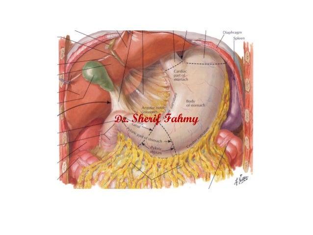 The spleen anatomy of the abdomen dr sherif fahmy ccuart Choice Image