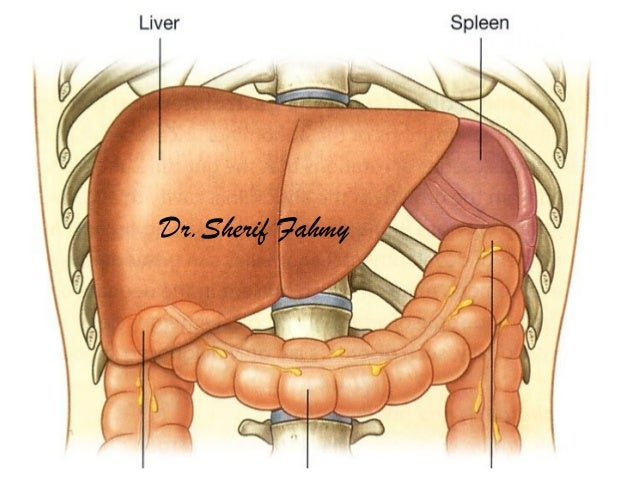 The spleen anatomy of the abdomen drerif fahmy ccuart Choice Image