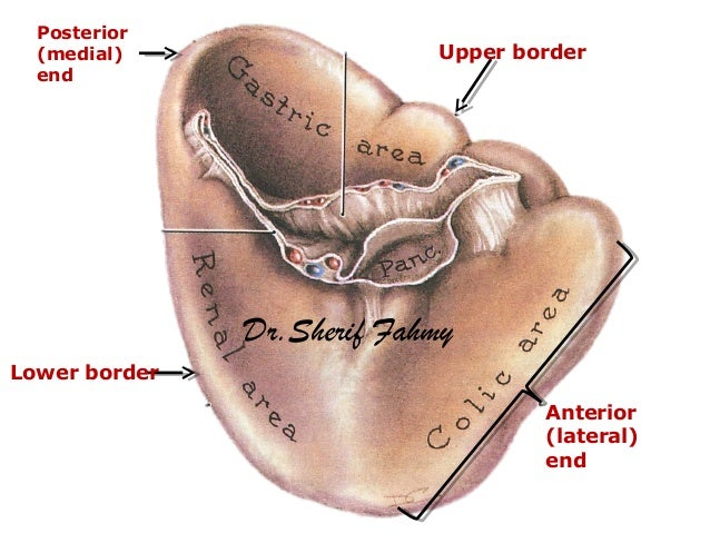Posterior (medial) end Anterior (lateral) end Upper border Lower border Dr.Sherif Fahmy