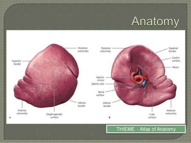 Anatomy of spleen