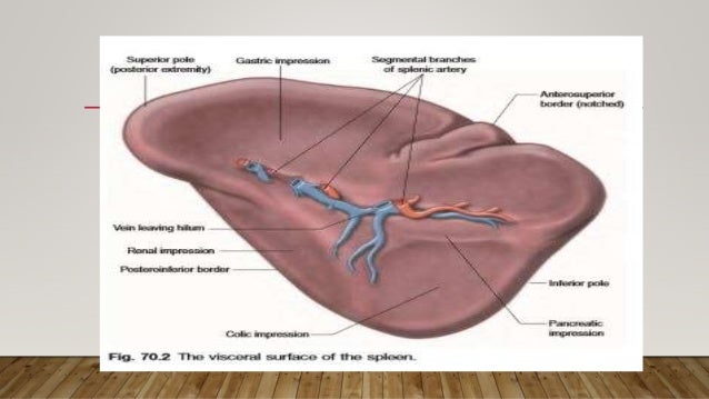 Spleen anatomy and physiology