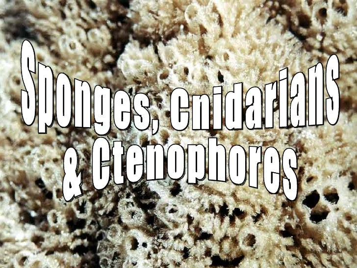 Sponges, Cnidarians & Ctenophores