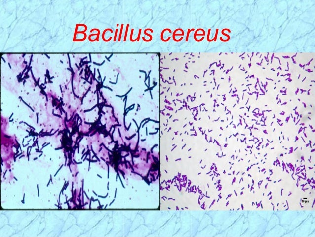 How Does Bacillus Cereus Cause Food Poisoning