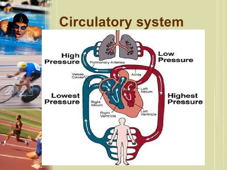 effect of exercise on circulatory system pdf
