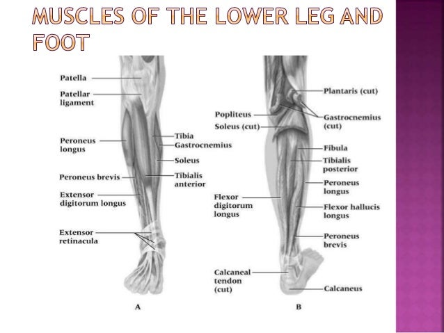 Sport Injuries Ankle And Lower Leg Injuries