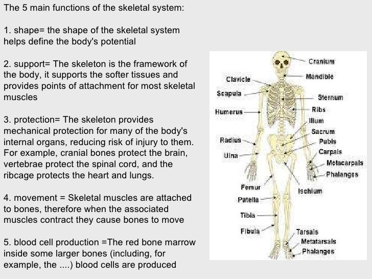 a recreational summary on the creation and dysfunctions of the human skeletal system Information for current doctor of physical therapy (dpt) students at the college of st scholastica.