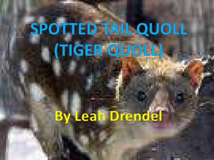 Spotted tail Quoll (Tiger Quoll)<br />By Leah Drendel<br />