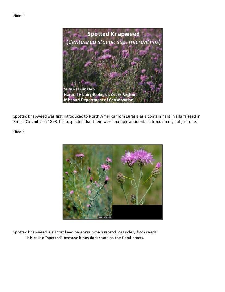 Slide 1                                    Spotted Knapweed                             (Centaurea stoebe ssp. micranthos)...