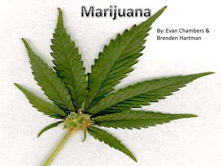 Marijuana<br />By: Evan Chambers &<br />Brenden Hartman <br />