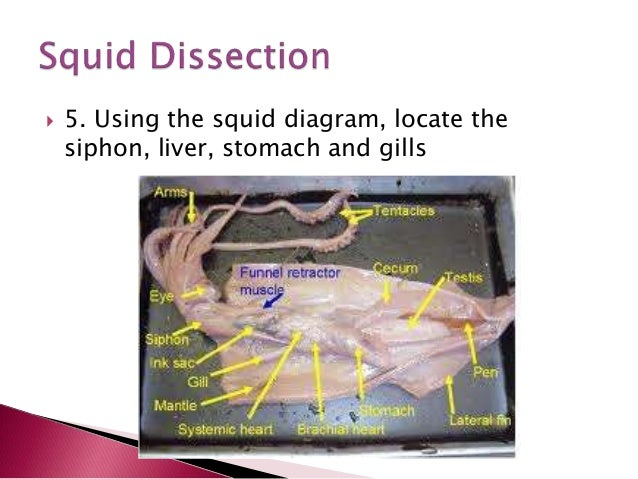 Squid Liver Diagram Product Wiring Diagrams