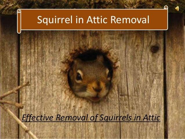 Squirrels In Attic Removal