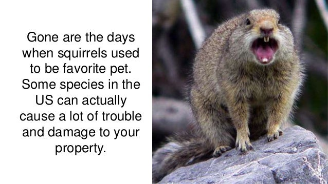 Gone are the days when squirrels used to be favorite pet. Some species in the US can actually cause a lot of trouble and d...