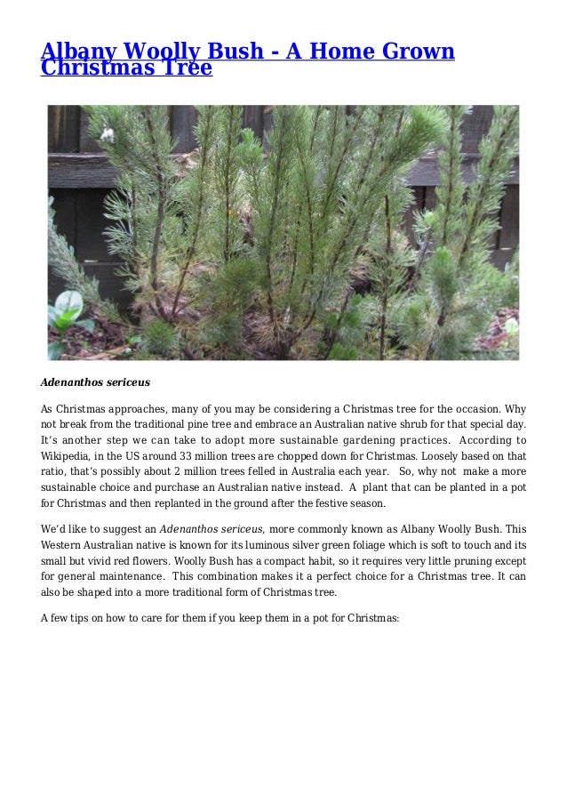 Albany Woolly Bush - A Home Grown Christmas Tree Adenanthos sericeus As Christmas approaches, many of you may be consideri...