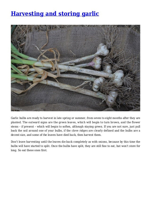 Harvesting and storing garlic Garlic bulbs are ready to harvest in late spring or summer, from seven to eight months after...