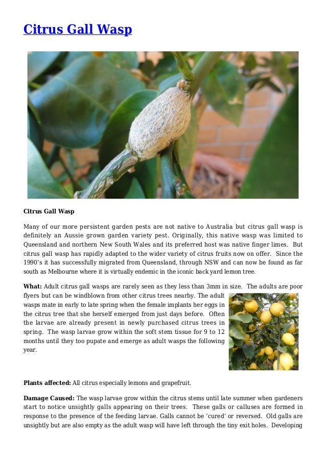 Citrus Gall Wasp Citrus Gall Wasp Many of our more persistent garden pests are not native to Australia but citrus gall was...