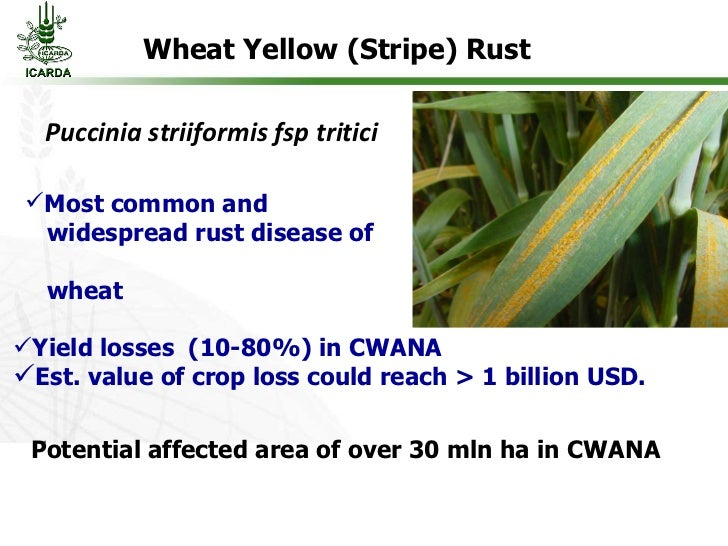 Yellow rust of wheat ppt