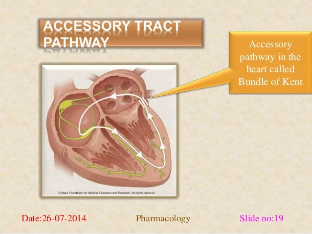 Accessory  pathway in the  heart called  Bundle of Kent  Date:26-07-2014 Pharmacology Slide no:19