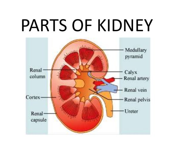 Parts of kidney image collections human anatomy organs diagram ppt kidney ccuart Image collections