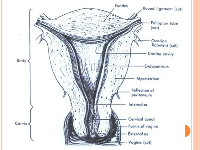 drugs affecting uterine smooth muscle Drugs affecting uterine smooth muscle receptors on uterine smooth muscle cells (garofalo & raymondo, 1995) the stimulation of the cervix and vagina induces the release of oxytocin, enhancing the contraction of uterine smooth muscle to facilitate parturition (cree et al, 1999.