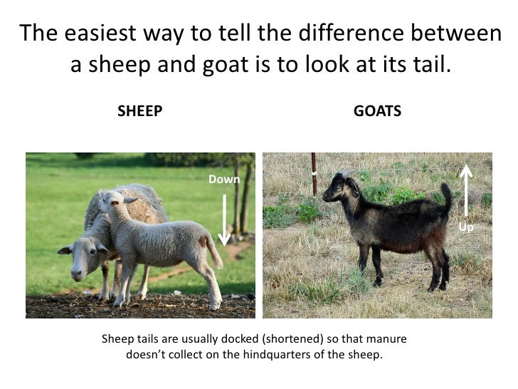 Diff bet lamb and goats