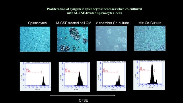 SSEA-1 CD45 Merge M-CSF-Treated Adherent Splenocytes Cells Are positive for Stem Cell Marker (SSEA 1and 3) SSEA-3 CD45 Mer...