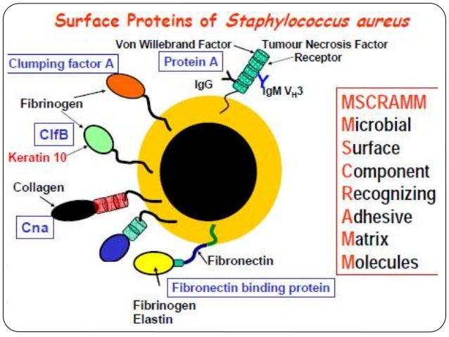 Staphylococcus aureus Virulence Factores
