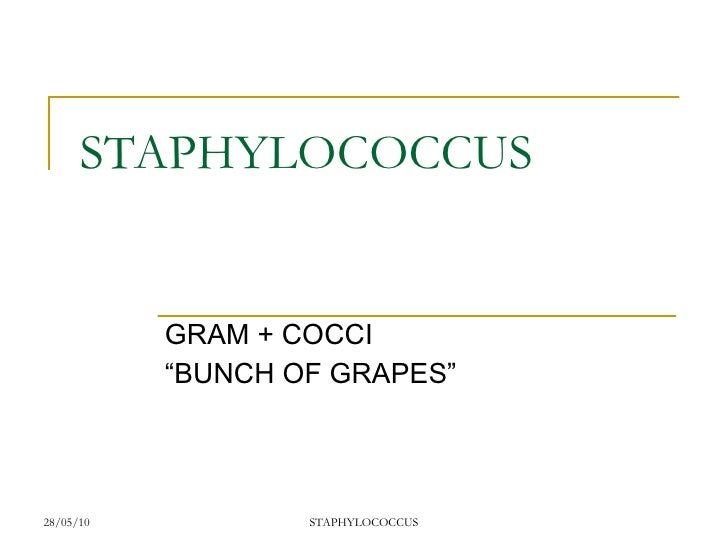 "STAPHYLOCOCCUS GRAM + COCCI ""BUNCH OF GRAPES"""