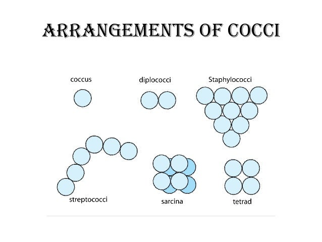 coccus bacteria diagram - photo #15